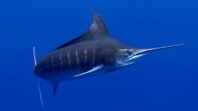 Marlin (Striped)