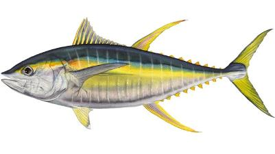 Tuna (Yellowfin)