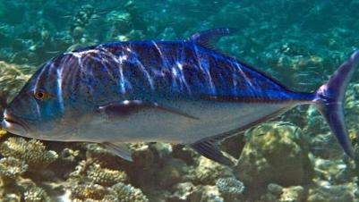 Trevally (Bluefin)