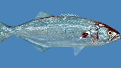 Bluefish (Tailor)