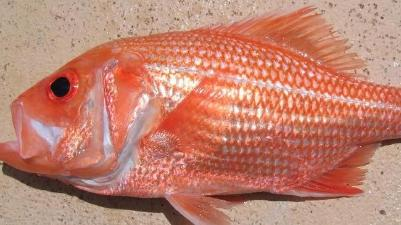 Snapper (Red)