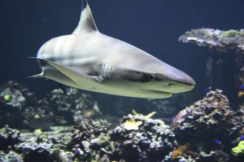 Shark (Blacktip)