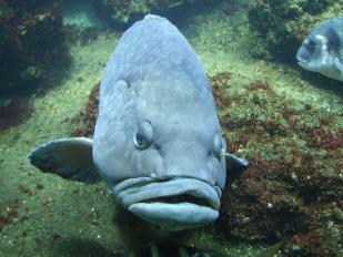 Wrasse (Humphead)