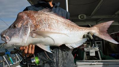 Snapper (Pink)